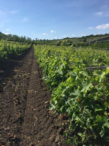 Purcari vinodling